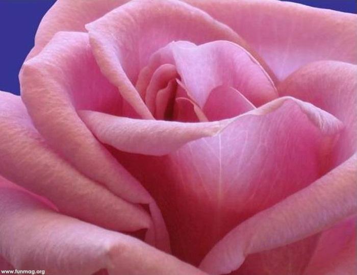 beautiful-roses-05