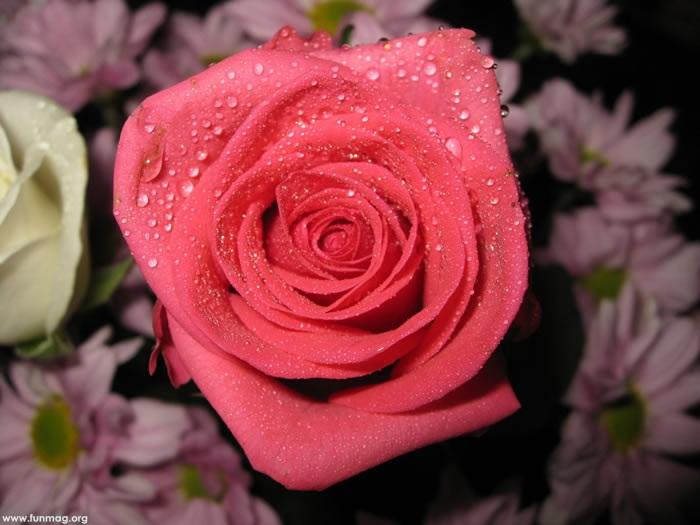 beautiful-roses-11