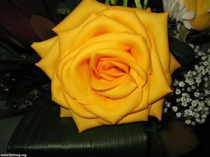 yellow-rose-01