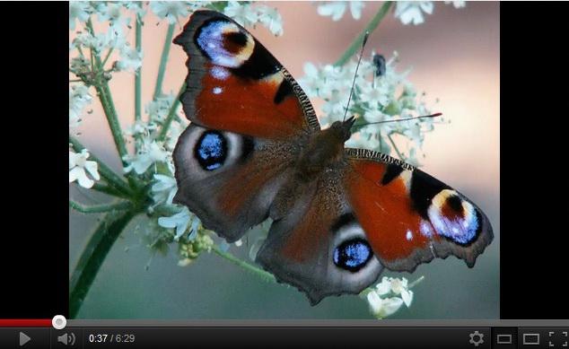 """""""butterfly video"""""""