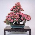 flower-bonsai-tree- (14)