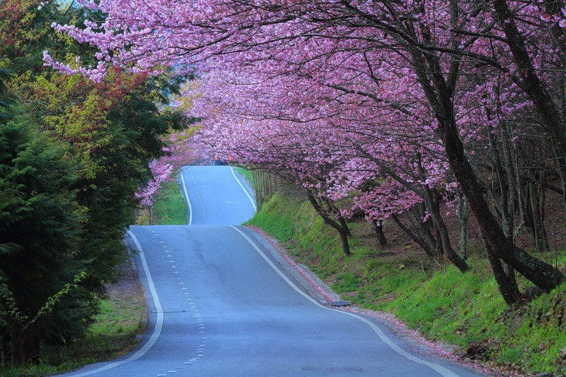 japanese-cherry-blossom- (1)