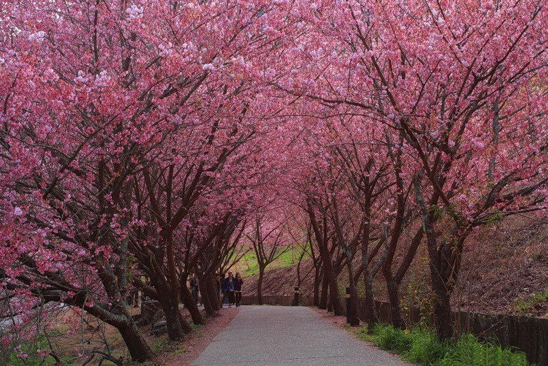 japanese-cherry-blossom- (2)