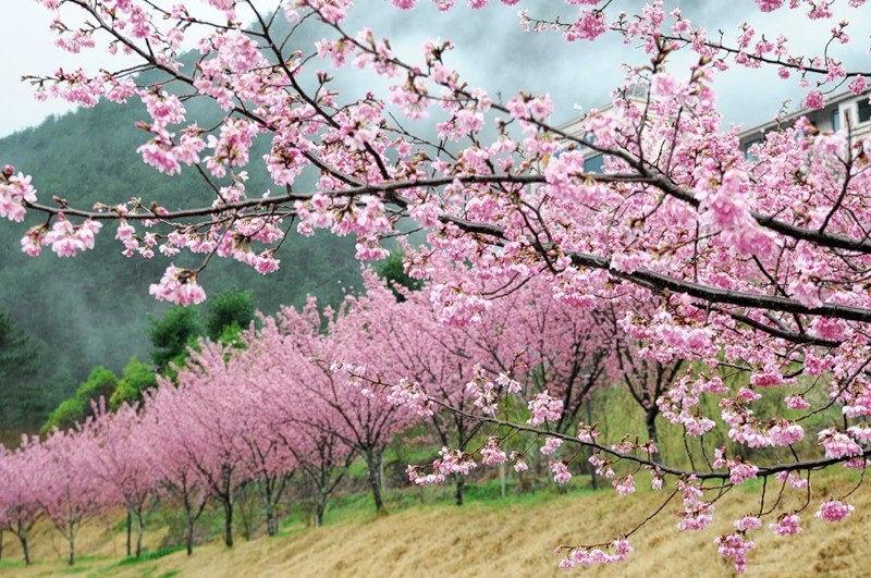 japanese-cherry-blossom- (10)