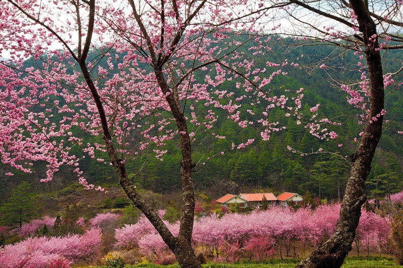 japanese-cherry-blossom- (11)