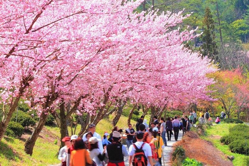 japanese-cherry-blossom- (12)