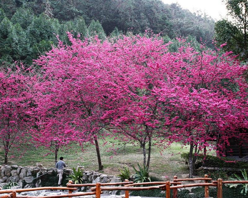 japanese-cherry-blossom- (13)