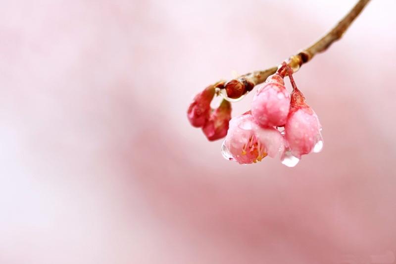 japanese-cherry-blossom- (14)