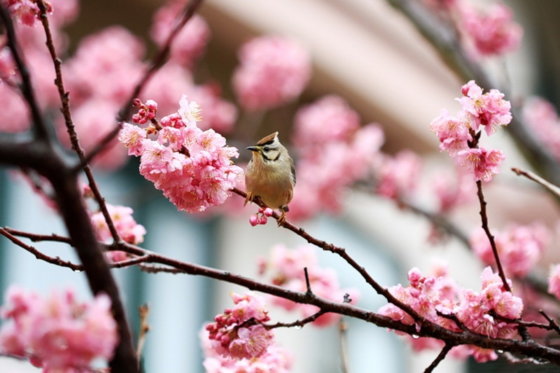 japanese-cherry-blossom- (15)