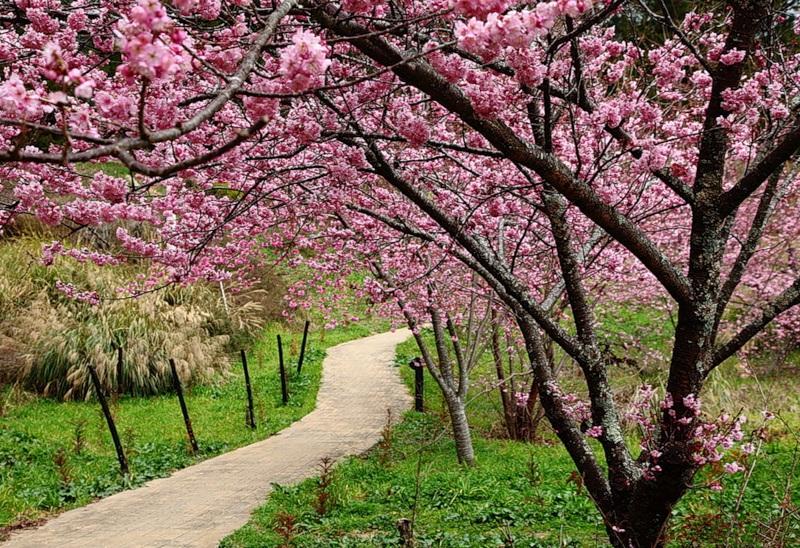 japanese-cherry-blossom- (16)