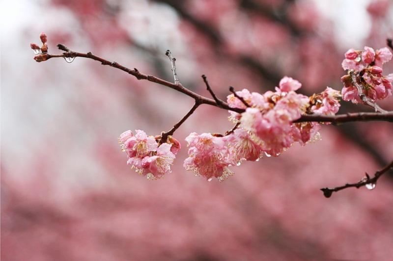 japanese-cherry-blossom- (17)