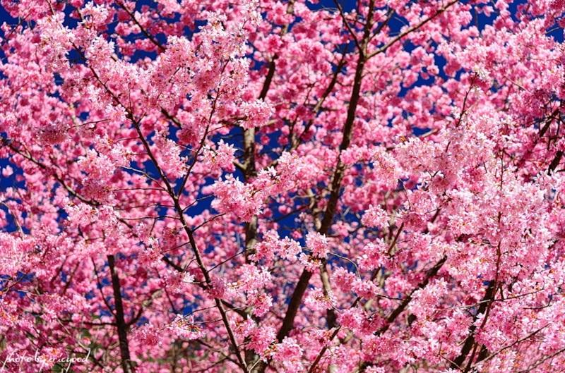 japanese-cherry-blossom- (18)