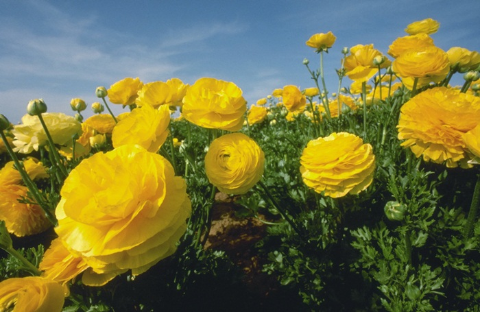 picture-of-yellow-roses- (2)