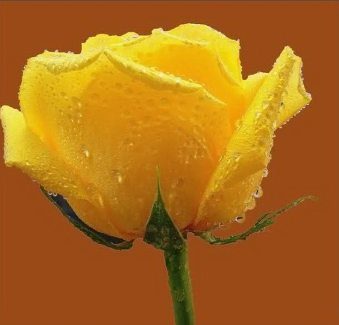picture-of-yellow-roses- (11)