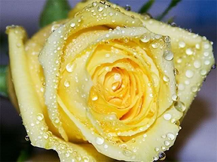 picture-of-yellow-roses- (13)