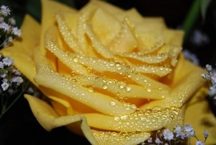 picture-of-yellow-roses- (14)