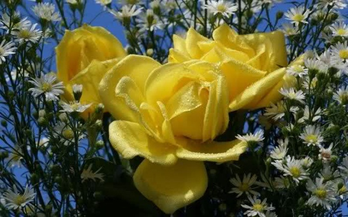 picture-of-yellow-roses- (20)
