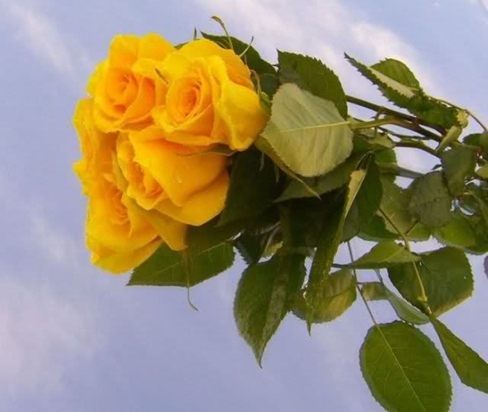 picture-of-yellow-roses- (22)