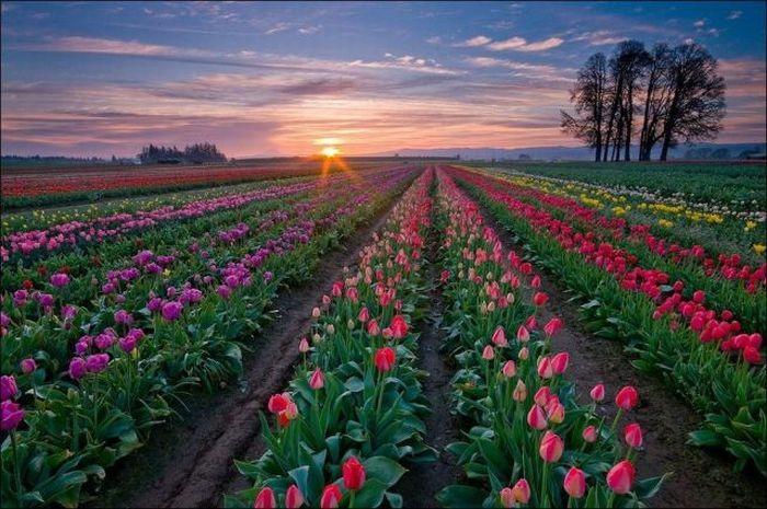 tulips-field- (2)
