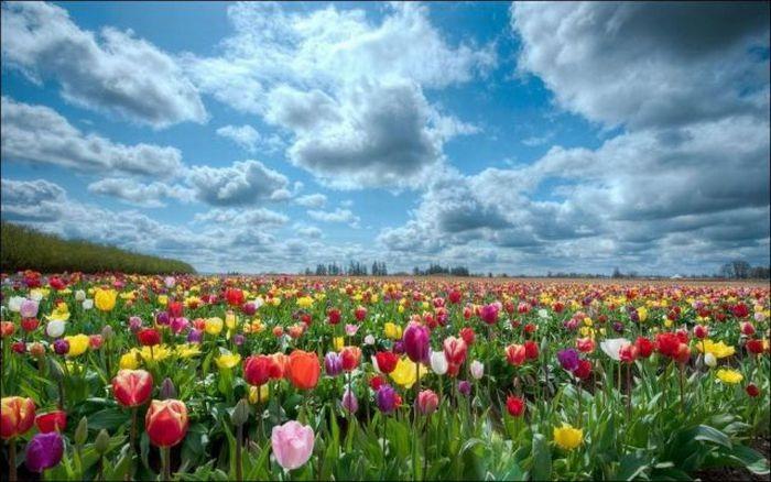 tulips-field- (4)