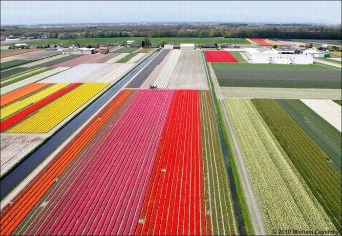 tulips-field- (9)