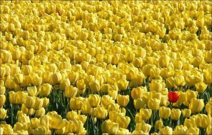 tulips-field- (10)