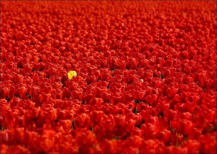 tulips-field- (11)