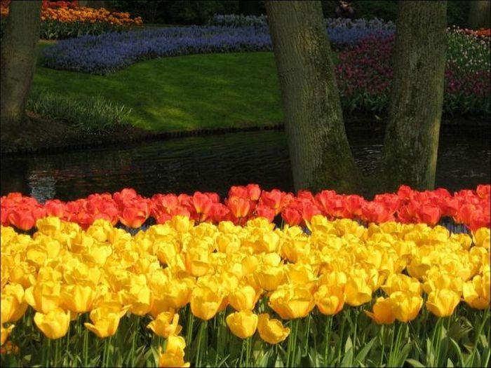 tulips-field- (12)