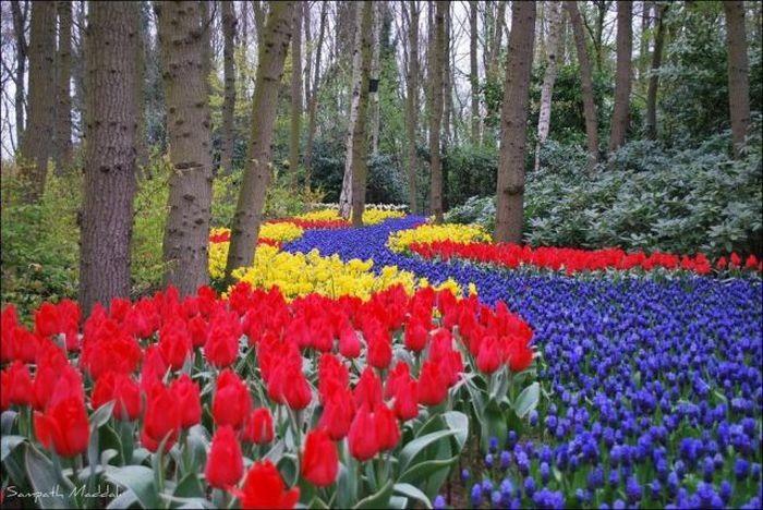 tulips-field- (13)