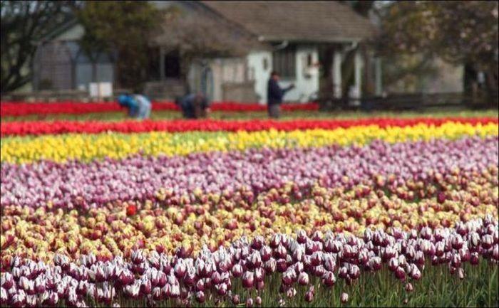 tulips-field- (14)