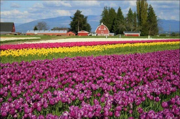 tulips-field- (15)