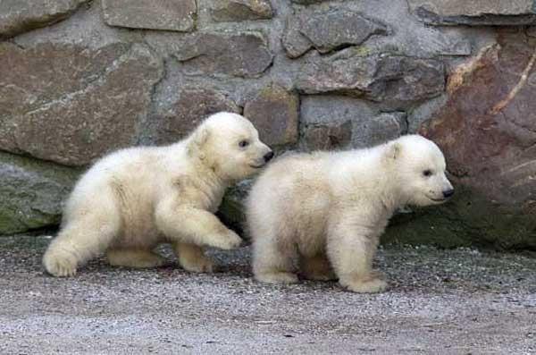 twin-bear- (1)