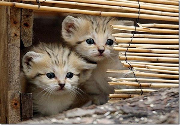 twin-kitten- (2)