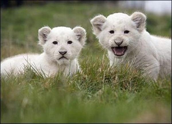 twin-lion- (1)