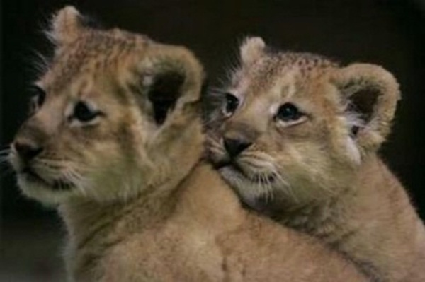 twin-lion- (2)