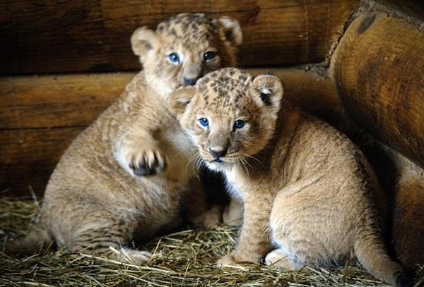 twin-lion- (4)