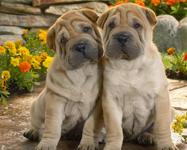 twin-puppy- (3)