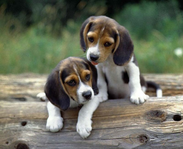twin-puppy- (4)