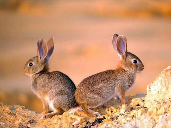 twin-rabbit- (3)