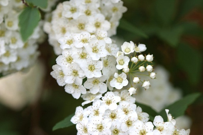 white-flowers-03