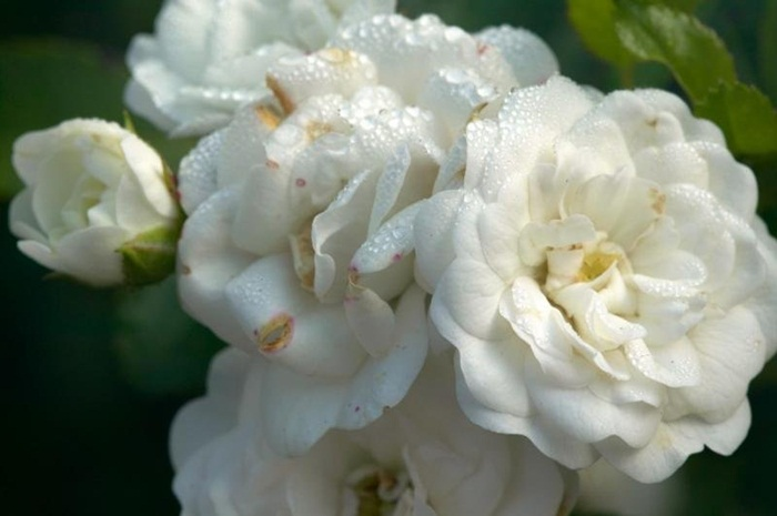 white-flowers-04