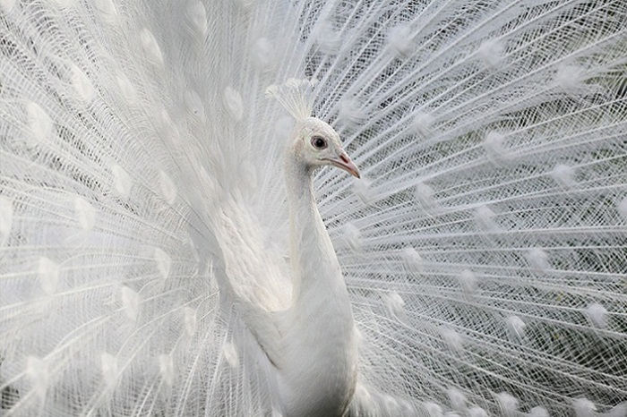 white-peacock-01
