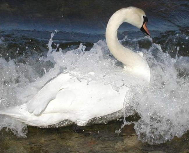 beautiful-white-swan- (2)