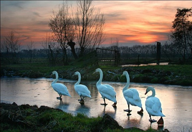 pictures-of-swan- (4)