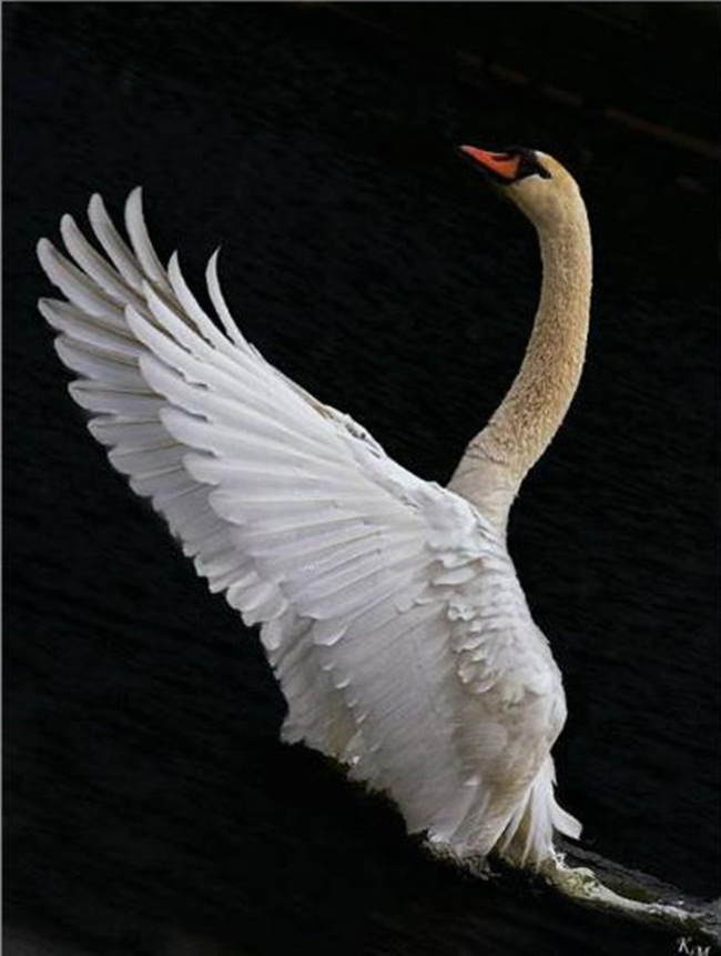 pictures-of-swan- (5)
