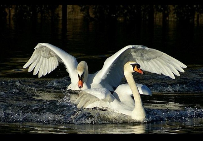 pictures-of-swan- (6)