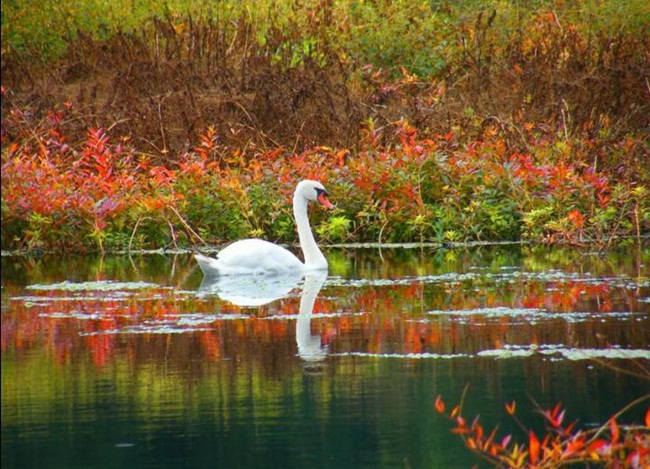 pictures-of-swan- (7)