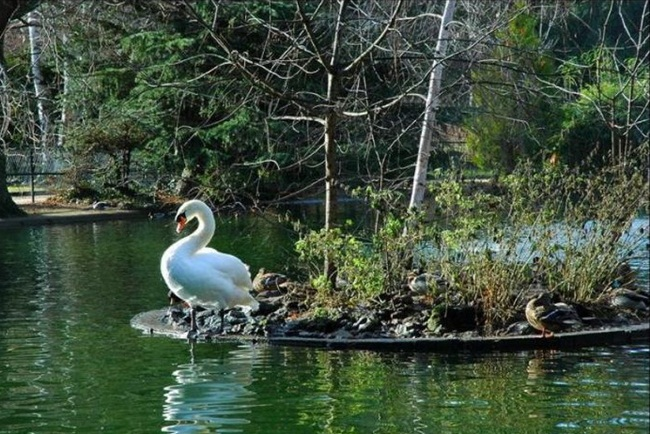pictures-of-swan- (10)