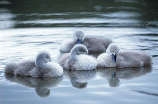 pictures-of-swan- (13)