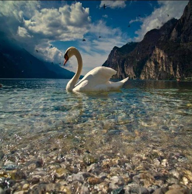 pictures-of-swan- (15)